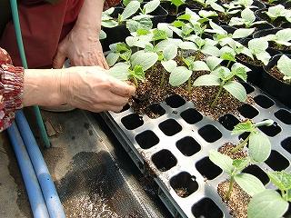 野菜苗をポットに移す作業