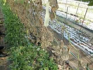 白きゅうり栽培
