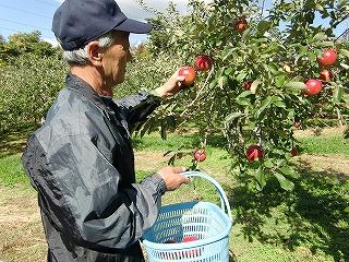 千秋(せんしゅう)収穫作業