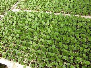 小松菜の苗