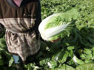 大きい白菜だ~!